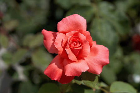 Scarlet rose flower on a background of green leaves close-up in the center of the frame