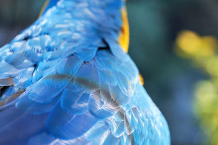 Fragment of a parrot bird wing with blue feathers, close up