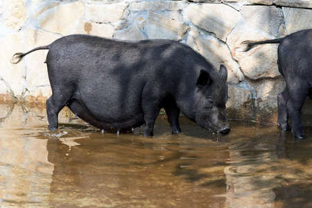 A family of black boars wash in a puddle of water. Keeping animals in the zoo
