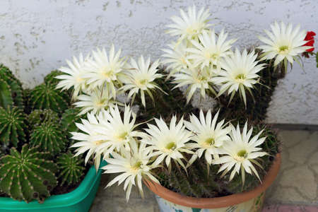 Large white flowers grown on a prickly green cactus