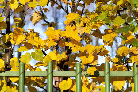 Green wooden hedge with yellow autumn leaves background Reklamní fotografie