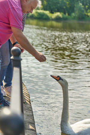 A man feeds from his hands a white swan floating in the water Standard-Bild