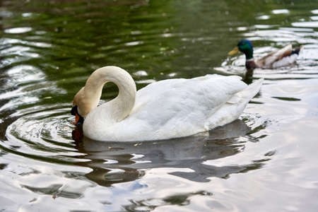 A white swan with a long neck and a red beak floats on the water Standard-Bild