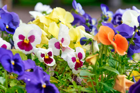 Multicolored pansy flower plant natural background, summer time