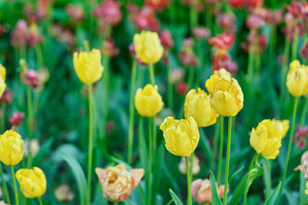 Bright flowers of tulips on a tulip field on a sunny morning