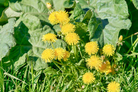 yellow dandelions growing on a lawn illuminated by the sunlight Standard-Bild