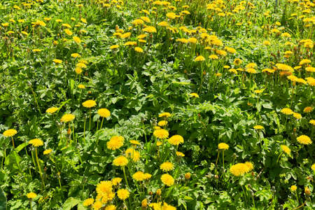 Dandelions in the green grass. Beautiful spring shot with a meadow of dandelions Standard-Bild