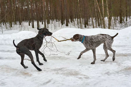 Two dogs play pulling a branch in the winter forest Standard-Bild