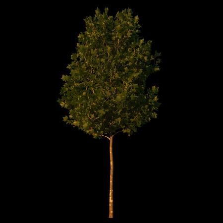 hispanica: cutout platanus x hispanica  sycamore  small on black background at dusk