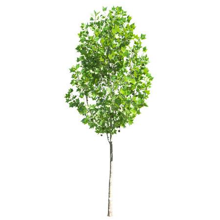hispanica: cutout platanus x hispanica  sycamore  small on white background Stock Photo