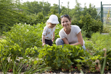 fertilize: mother with her little daughter in the allotment of strawberries