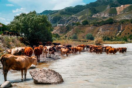 A herd of cows with horns, near the river, in the summer. Blue sky high mountains and brown river. Beautiful rural landscape. Horizontal photo in good quality.