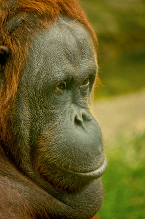 Portrait of a big redhead monkey. Animals in nature on our earth. Orangutan. High quality photo