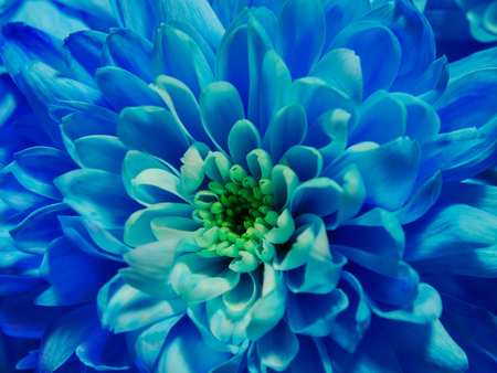 Close up of blue flower chrysanthemum, macro blossom