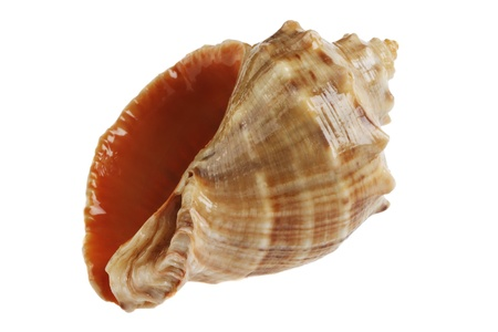 mollusca: Empty seashell of marine mollusc  isolated on white background