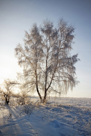Frosted lonely birch in winter under blue sky at sunset photo