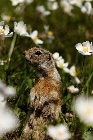 Watchful standing gopher in grass Stock Photo