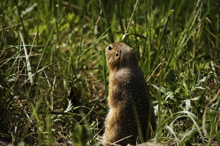 watchful: Watchful standing gopher in grass Stock Photo