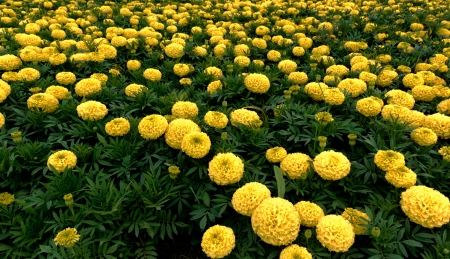group of yellow marigolds