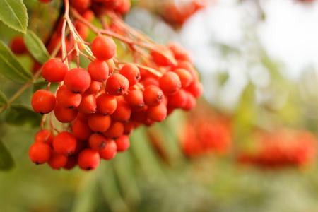 european rowan: European Rowan (Sorbus aucuparia)