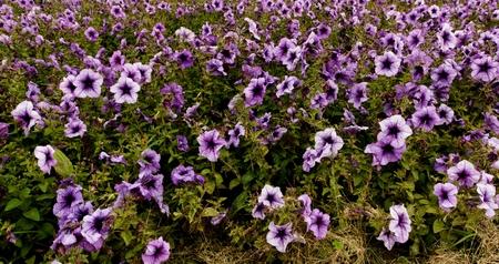 mirabilis: Blue mirabilis in garden