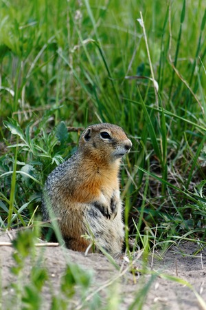 gopher: Watchful standing gopher in grass Stock Photo