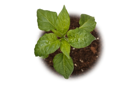 basil plant viewed from top on white background 版權商用圖片
