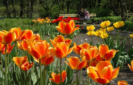 Tulips in botanical  garden