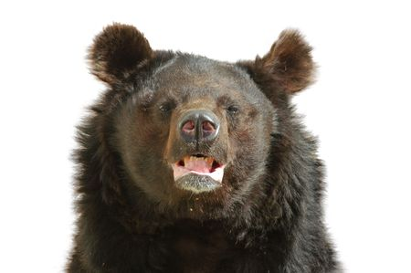 Bear, portrait