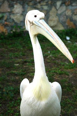 The pelican Stock Photo
