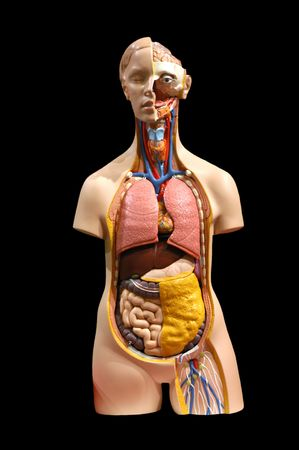Breadboard model of internal bodies of the person
