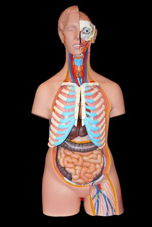 Breadboard model of an arrangement of internal bodies of the person