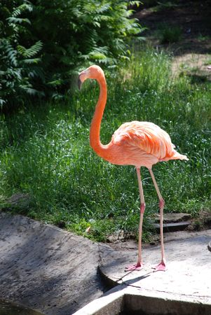 Pink flamingo at water in zoo