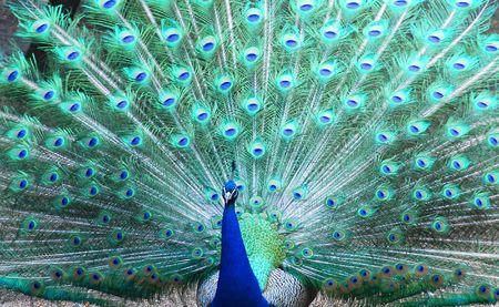 plumas de pavo real: El matrimonio de la danza del pavo real en el zool�gico  Foto de archivo