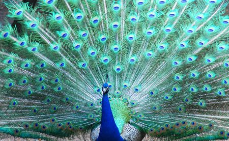 peacock eye: Marriage dance of the peacock in zoo Stock Photo