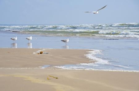 Seagulls at coast of Jurmala in windy weather Stock Photo