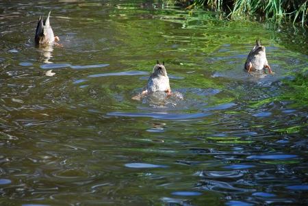 natación sincronizada: El rendimiento en la natación sincronizada entre los patos Foto de archivo