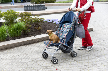 genre: Genre  Walk with a small doggie in a baby carriage  Stock Photo