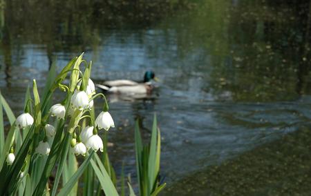Flores de un lirio de los valles en la orilla del lago