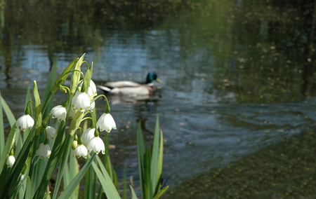 Flowers of a lily of the valley on the bank of lake