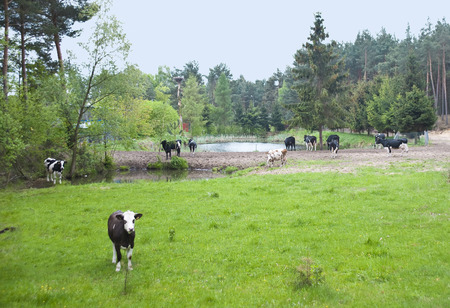 are grazed: The small herd of cows is grazed on a meadow about a pond. Stock Photo