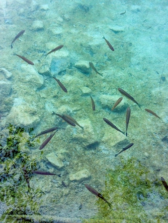 Croatia, Plitvice Lakes. Pack of fishes in transparent water.