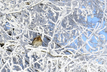 Winter, frost. The sparrow sits on branches covered with hoarfrost. Stock Photo
