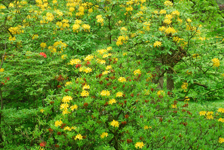 Europe. Spring to Baden - Baden. Beautiful yellow flowers on bushes in the park Baden - Baden.