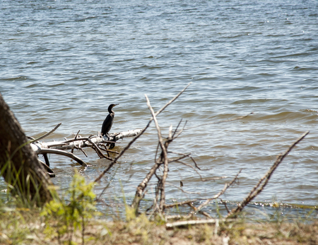 Big cormorant - the diving sea bird from a genus of cormorants at the coast of the Baltic Sea. Stock Photo