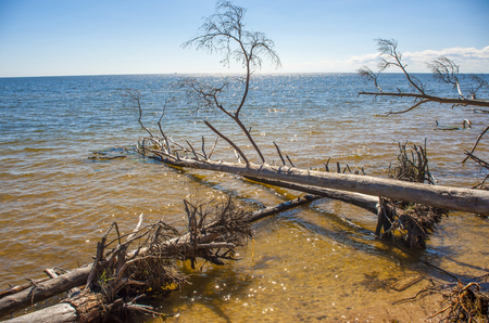 Europe, Latvia, cape Kolka, Gulf of Riga. The trees which are tumbled down by a storm lie in water at the coast of the gulf. Stock Photo