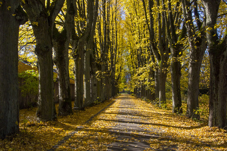 Latvia, Riga. Fall in a botanical garden. The avenue covered with yellow leaves of trees.