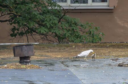 A gull on the roof of a house in the city feeds its chick.
