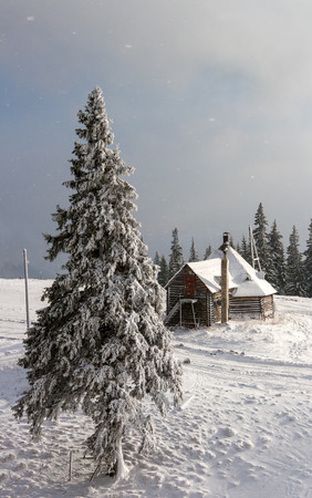 Big snow-covered pine tree stands in front of a small house on a hill behind the house begins a dense forest. Winter. Mountain Dragobrat, Western Ukraine. Stock Photo
