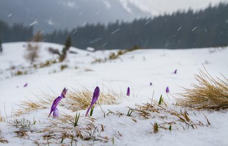 싹이 아이리스는 숲과 산의 배경으로 눈 아래에서 밖으로 나온다.